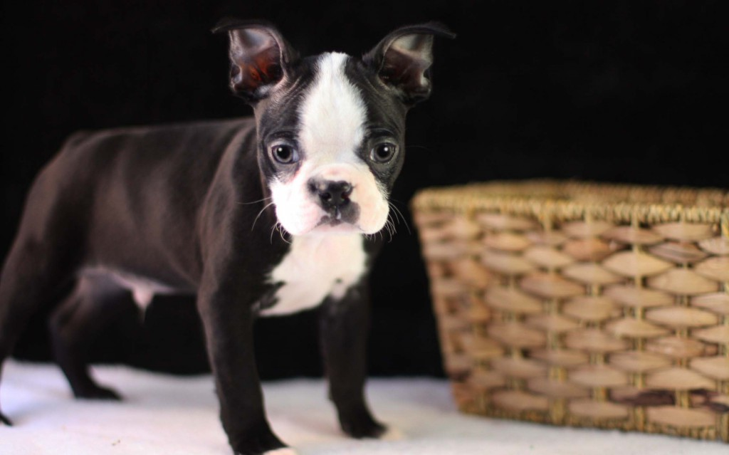 Pepper the Boston Terrier