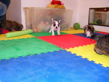 This is our kennel puppy kindergarten playroom.The puppies have a ball in here.  They get to play with other puppies their age.  As you can see here, we have a Frenchie and Shih Tzus playing together.