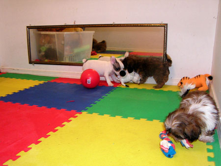 The puppies love to look at themselves in the mirror.  Our puppies get to spend about 2 hours a day playing with other puppies in our indoor puppy playground.